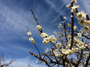 ume trees are in full bloom